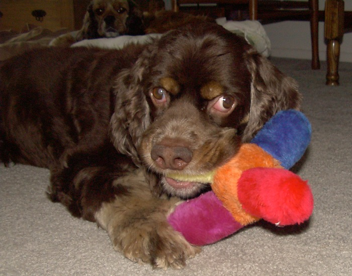Charley Cocker Spaniel with toy